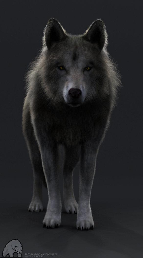 ArtStation - Grey wolf WIP, Alessandro Mastronardi