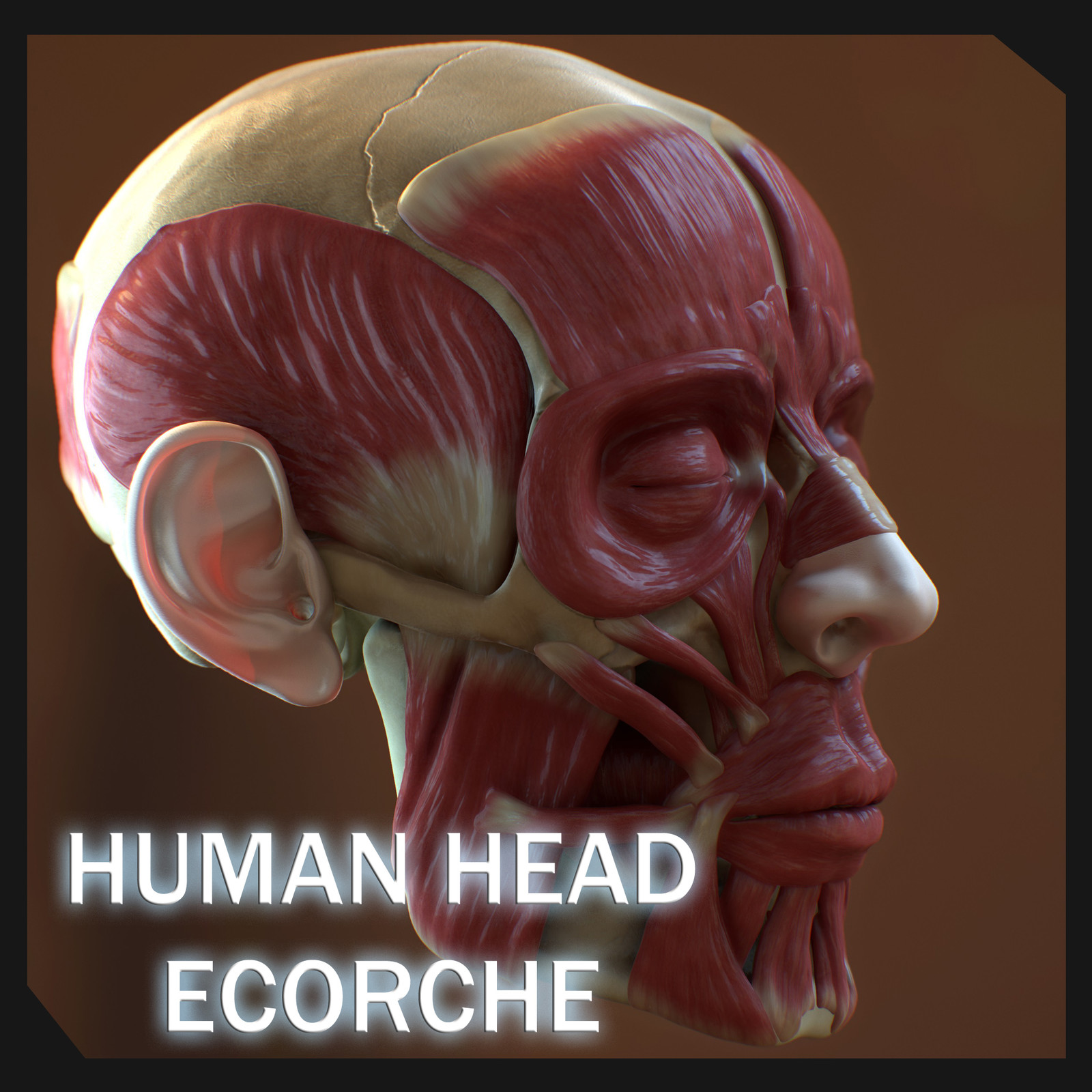 Human Head Ecorche Final Textured Version