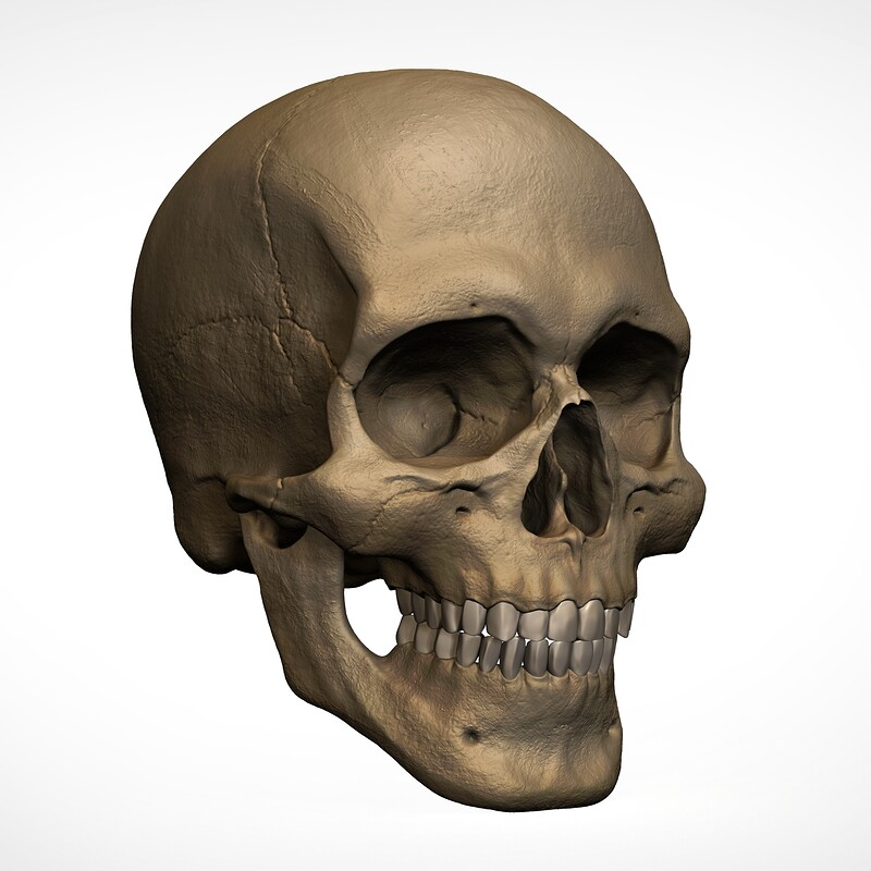 3D Head – Anatomy Model