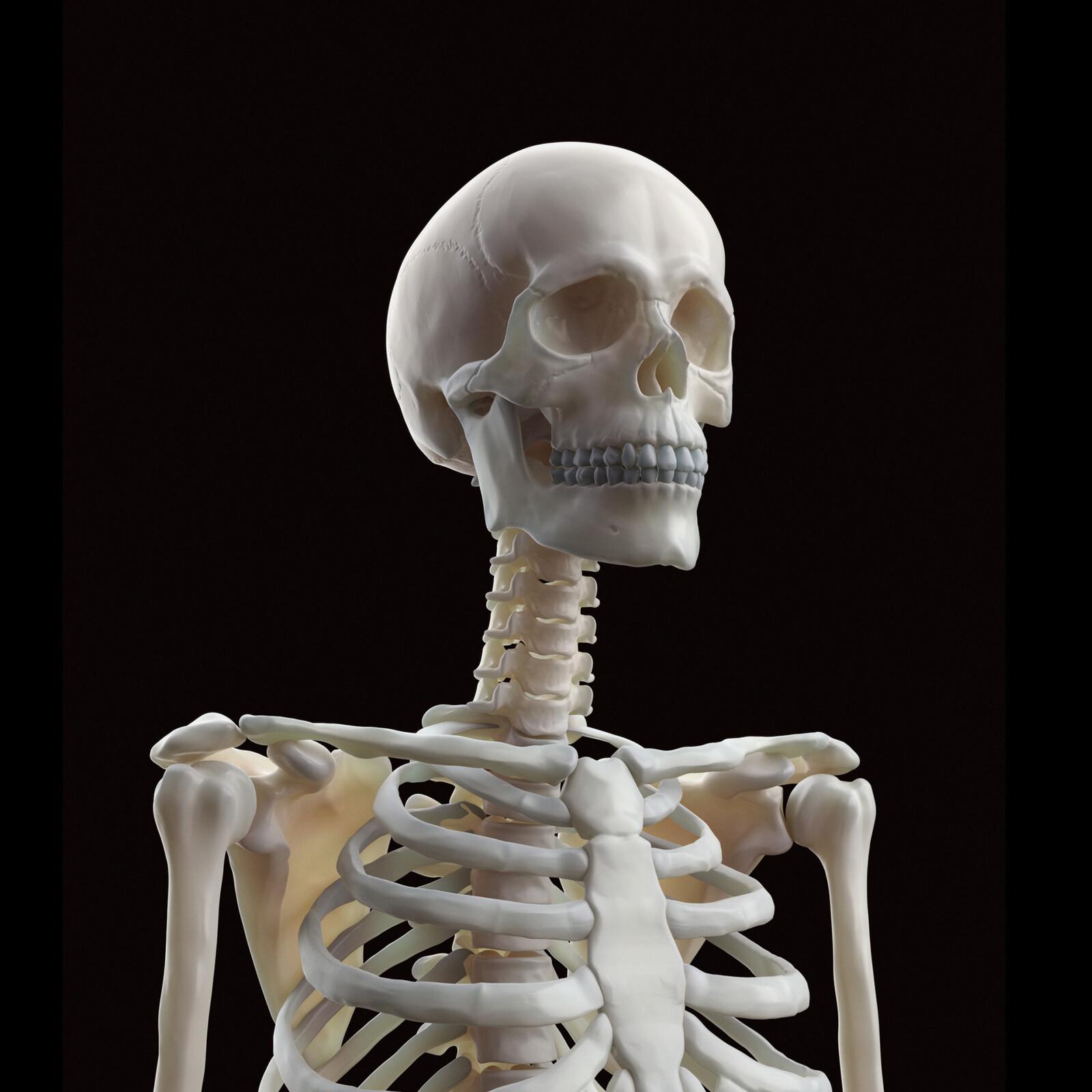 Human Portrait Skeleton to Écorché