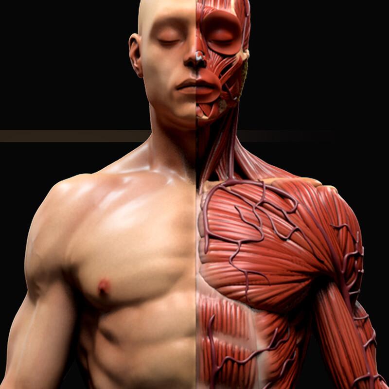 Ecorche (Anatomy Study)
