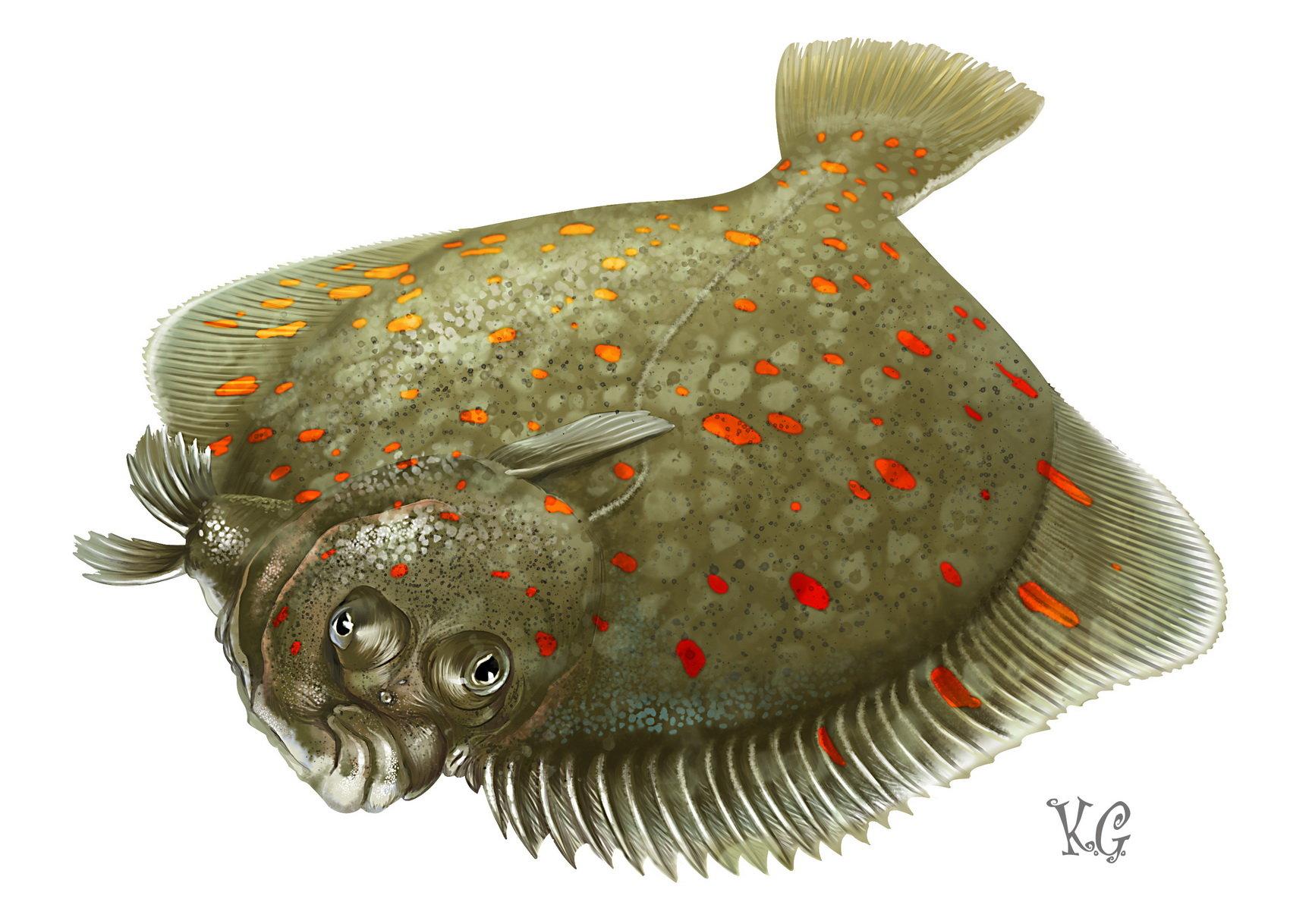 картинка рыбы камбалы некоторыми них
