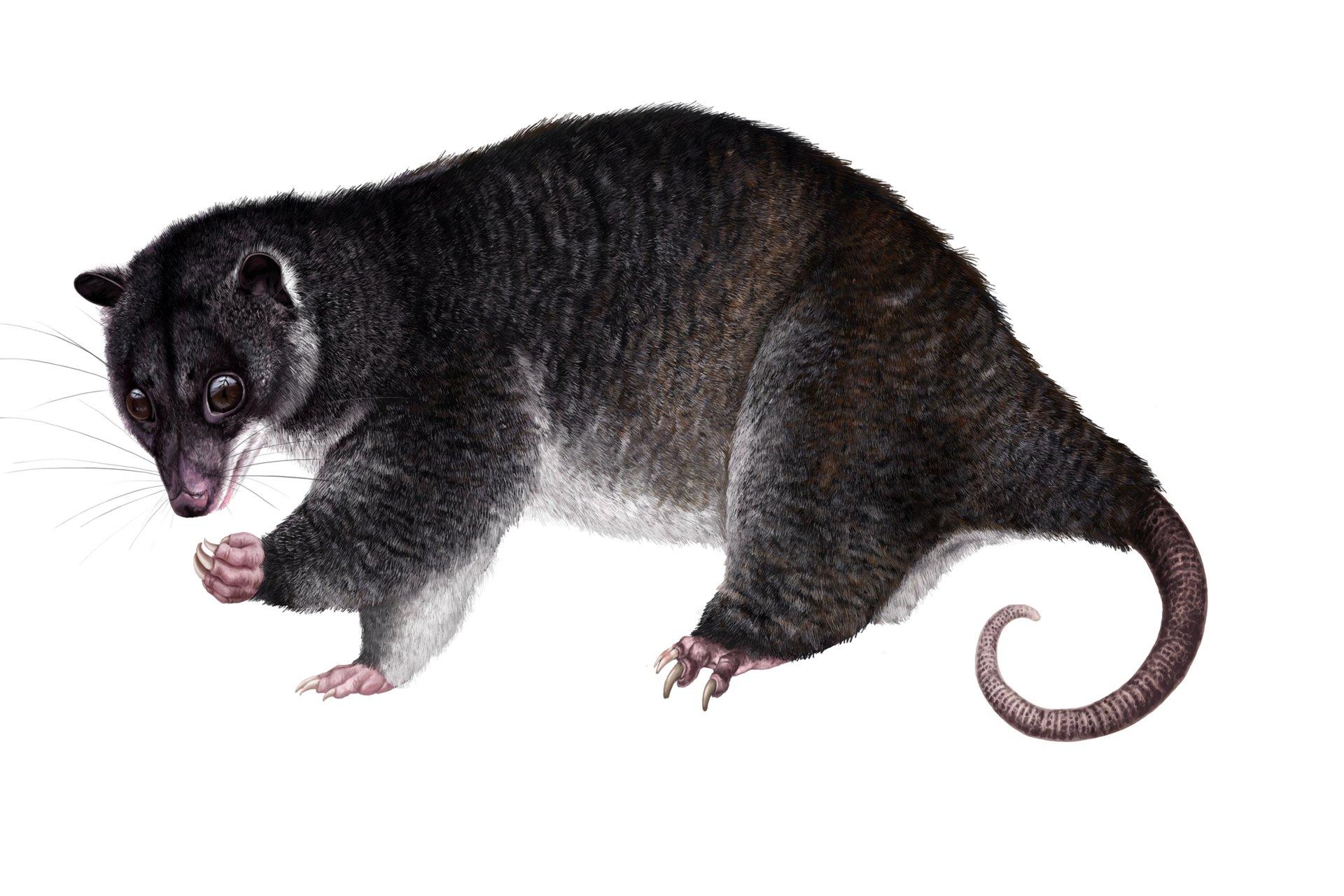 Martina nachazelova strigocuscus gymnotis