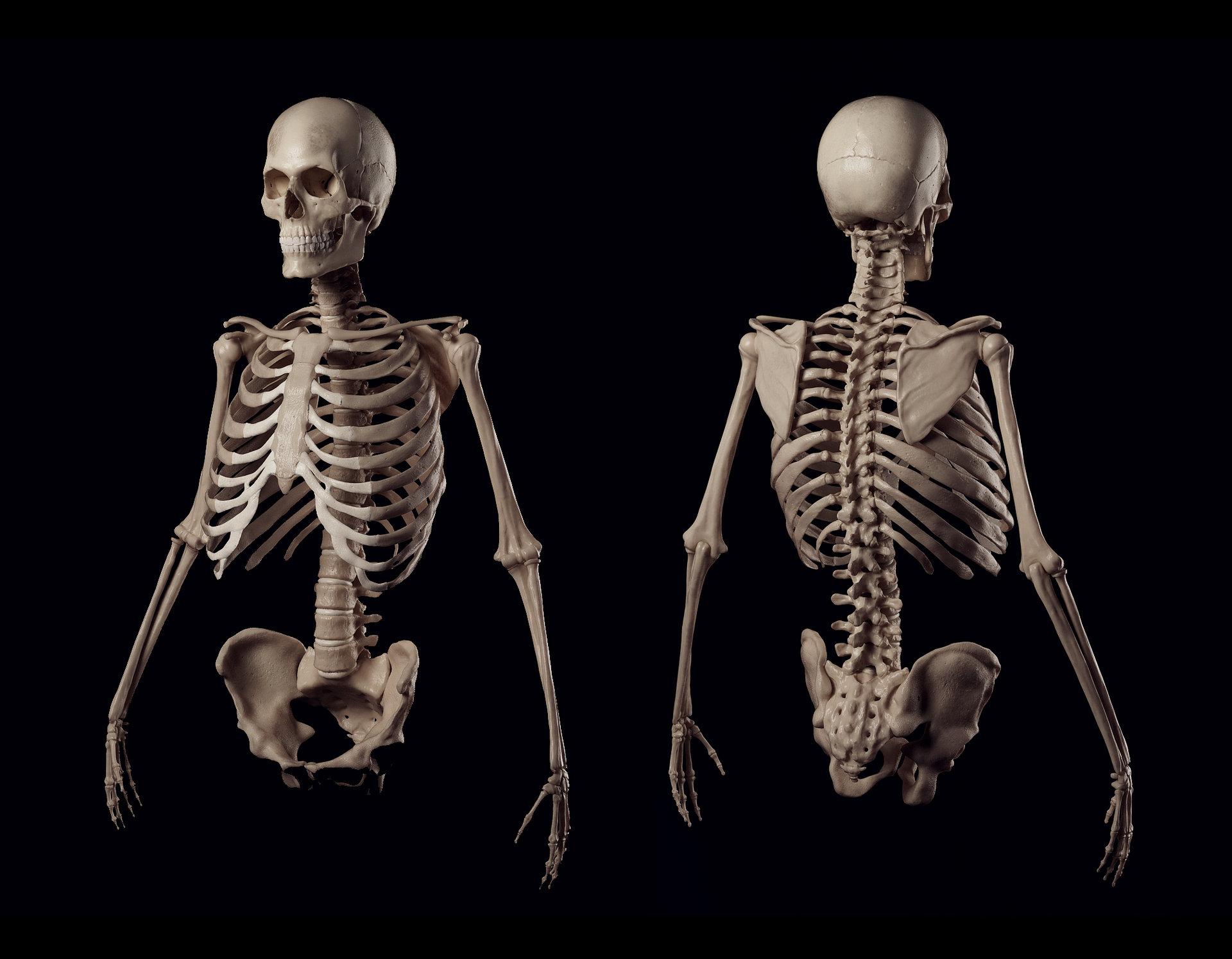 Artstation Human Skeleton Romjke Hitoffskiy
