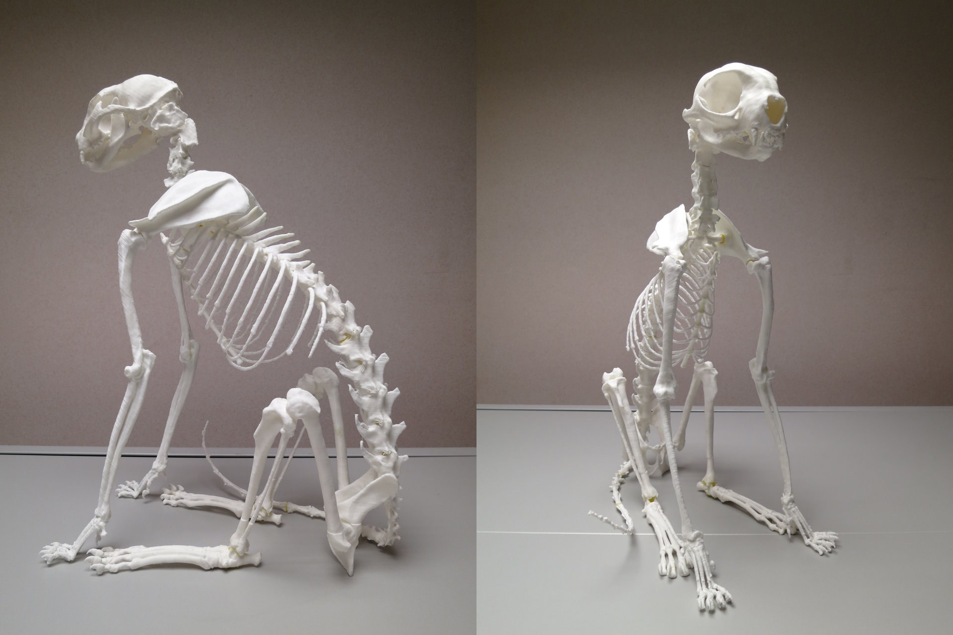 jonathan seeney - 3d printed cat skeleton