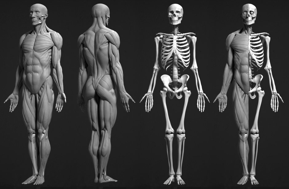 Artur Owsnicki - Human male anatomy study ecorche
