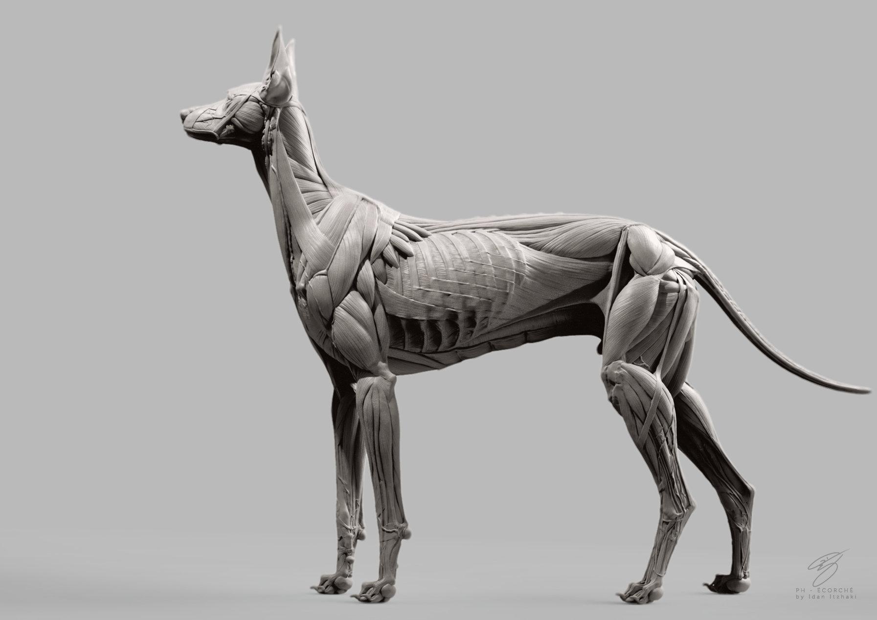 ArtStation - Canine Écorché, Idan Itzhaki