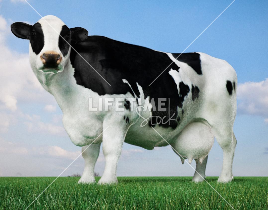 Marco baccioli cow 2lts