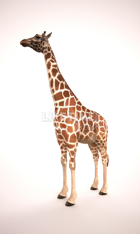 Marco baccioli giraffe front