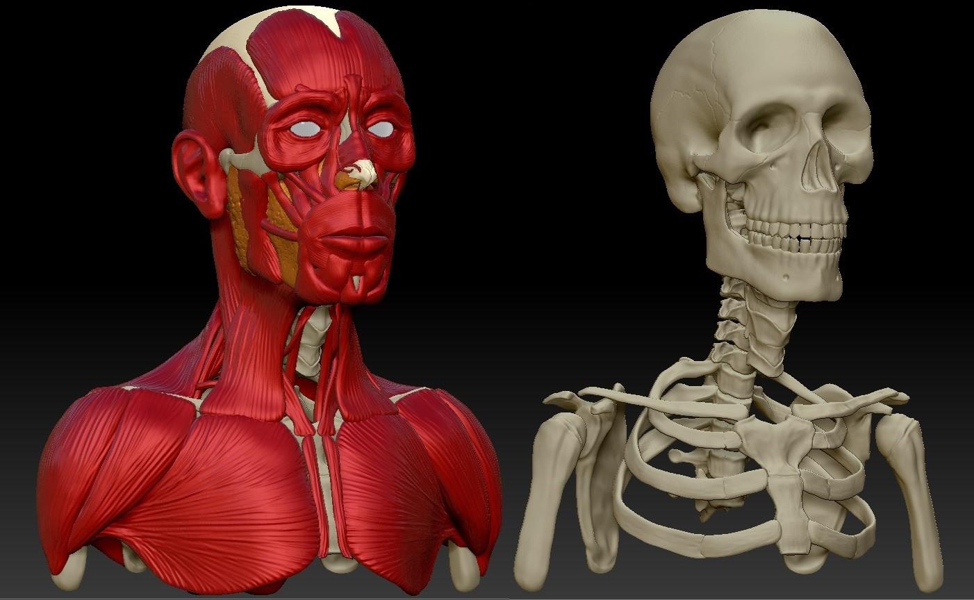 Valerij Emeljanov The Study Of Human Anatomy Bust Area