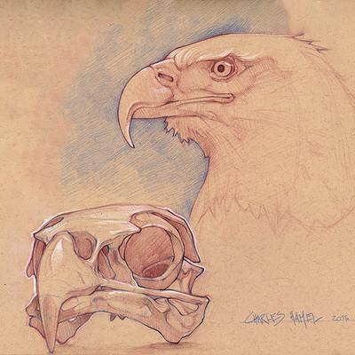 Charles hamel bald eagle