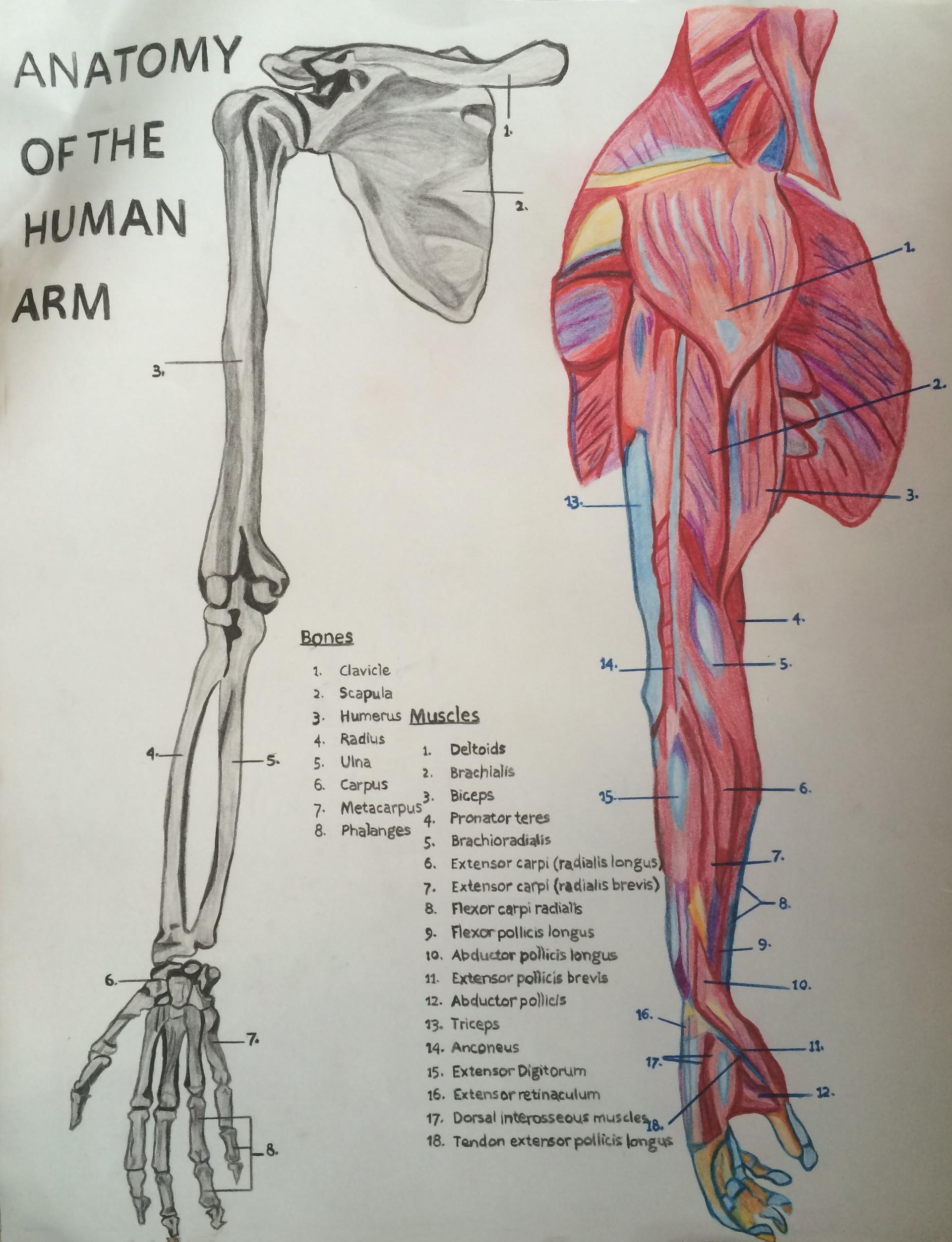 ArtStation - Anatomy Study, Corey Everett