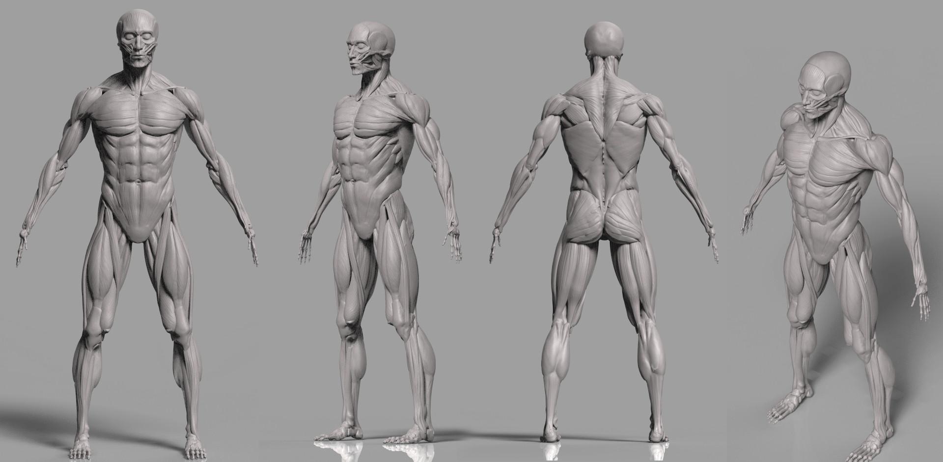 Artstation Study Human Anatomy Musle Eu Zeeng