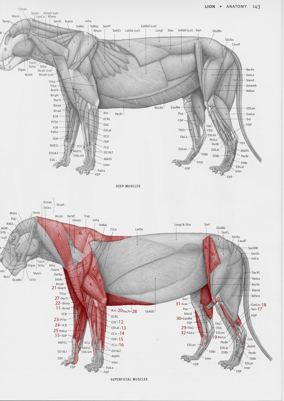 Jordi van hees lion anatomy chart numbert