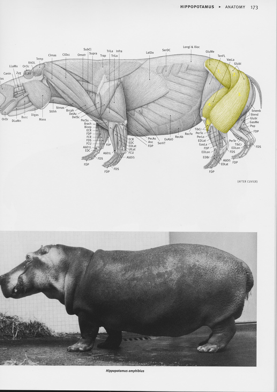 Jordi van hees hippo anatomy chart numbert