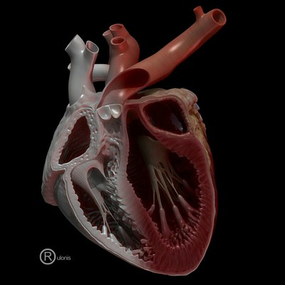 Dariusz andrulonis heart cross section