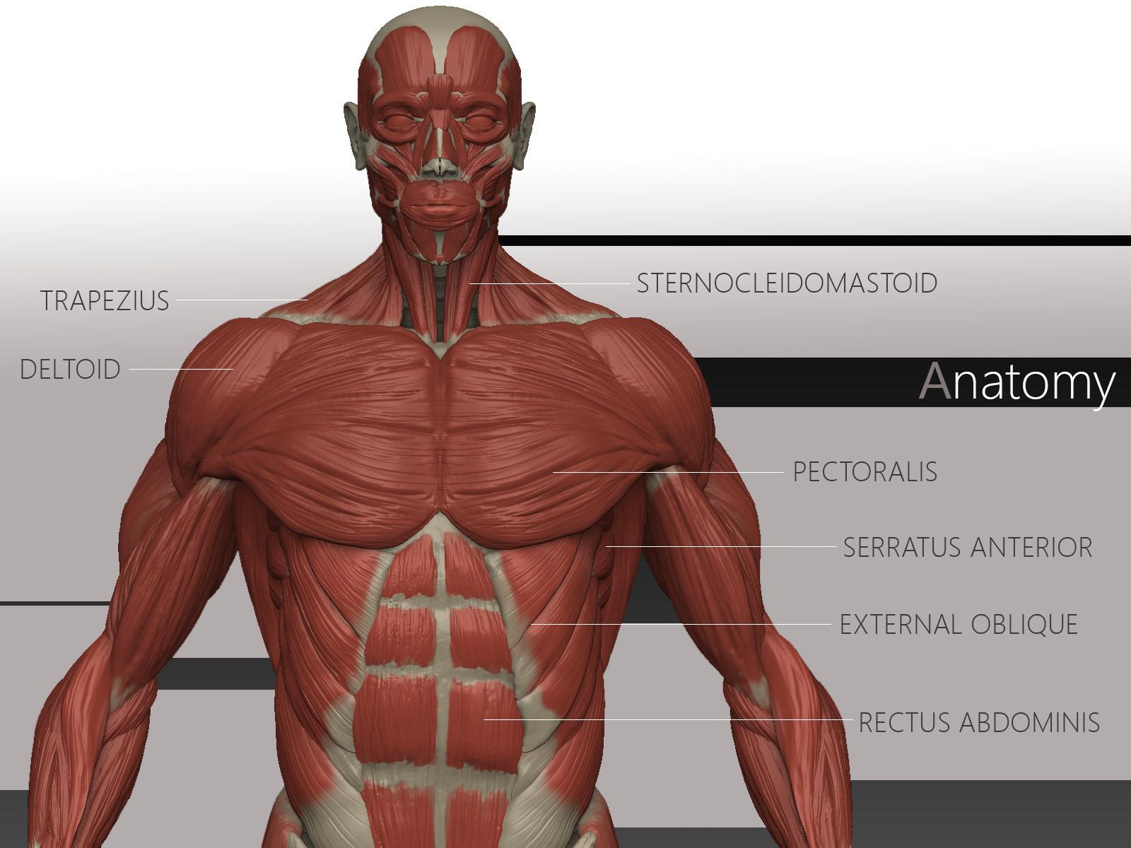 ArtStation - Male Anatomy , Ivan Galan