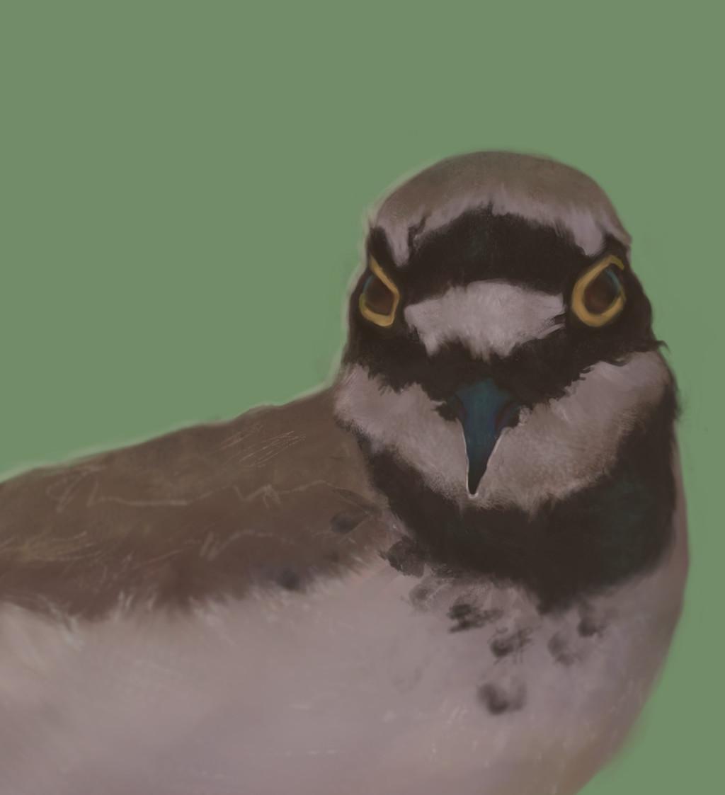Maya grishanowitch groom plover closeup