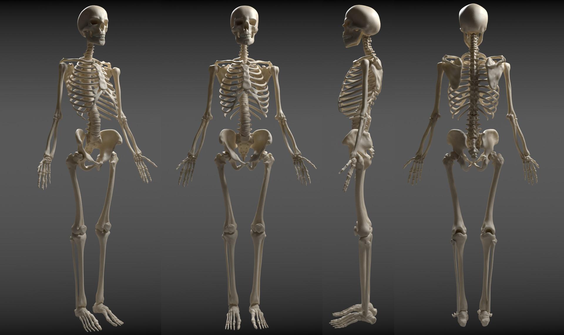 ArtStation - Skeleton Study, Annselie Aberg