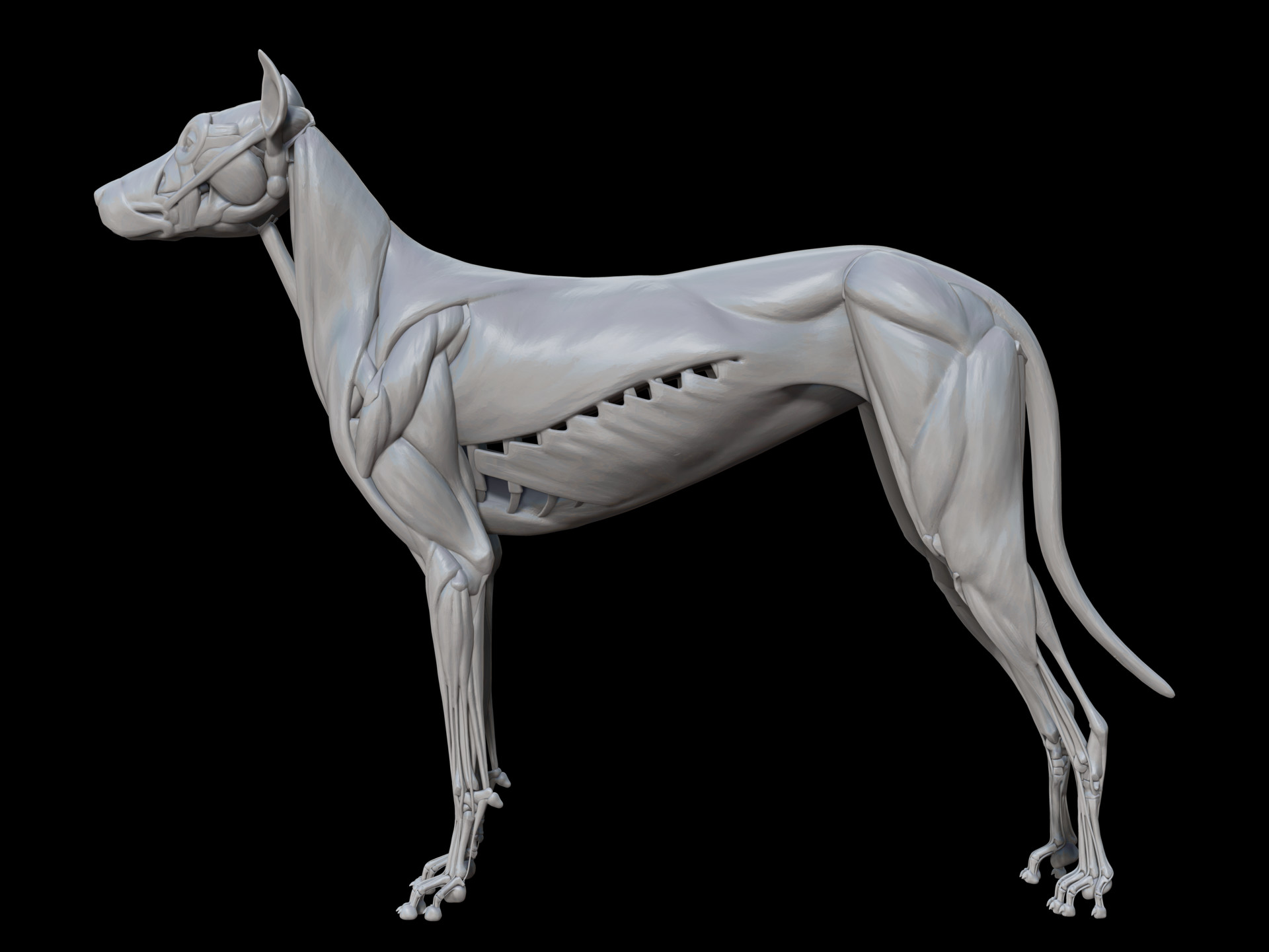 ArtStation - dog muscle, William Hamilton