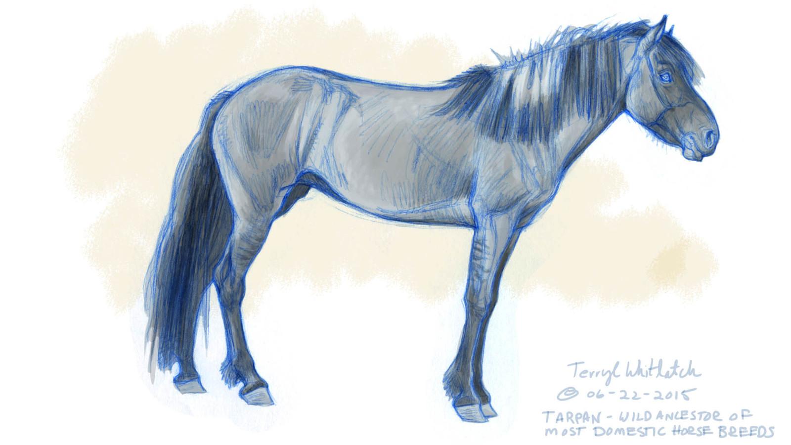 Tarpan sketch