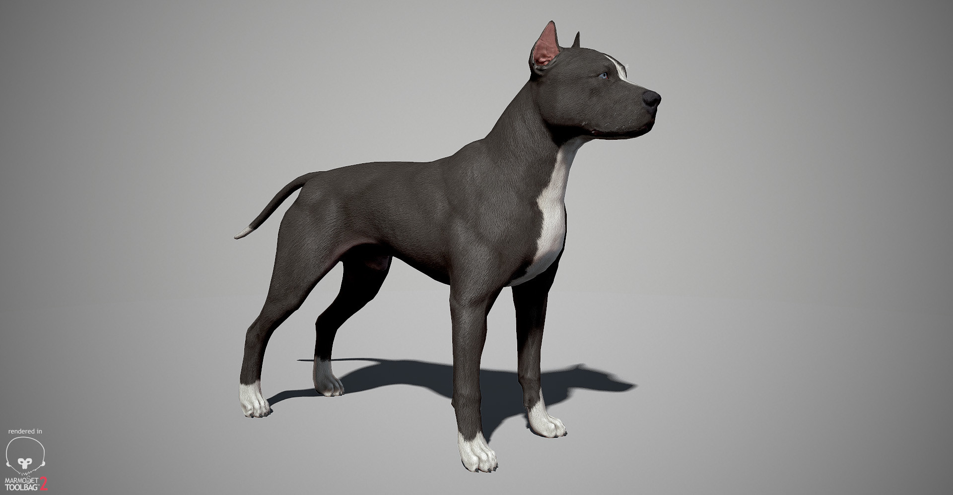 Alex lashko pitbull by alexlashk marmoset 01