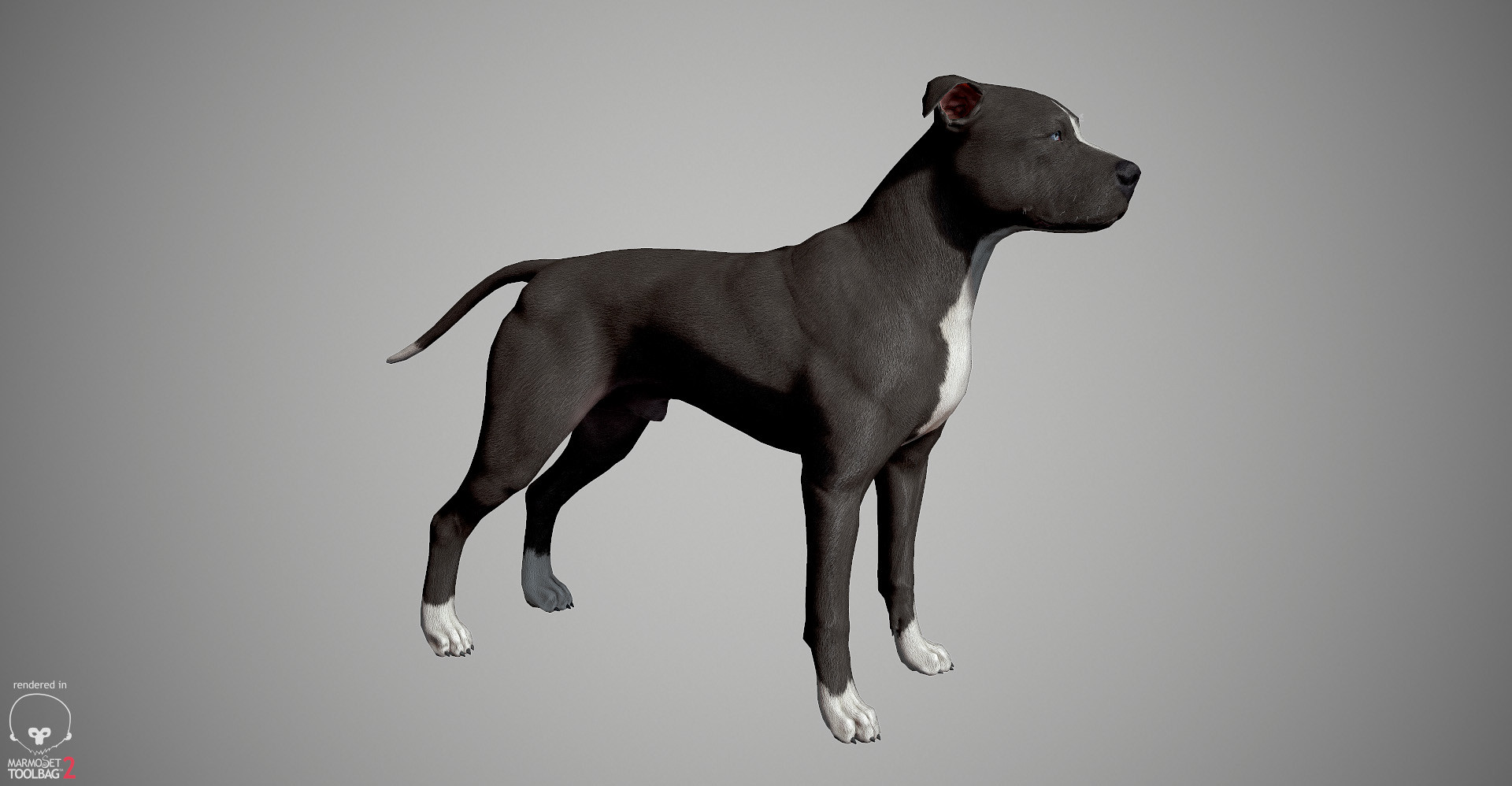Alex lashko pitbull by alexlashk marmoset 16