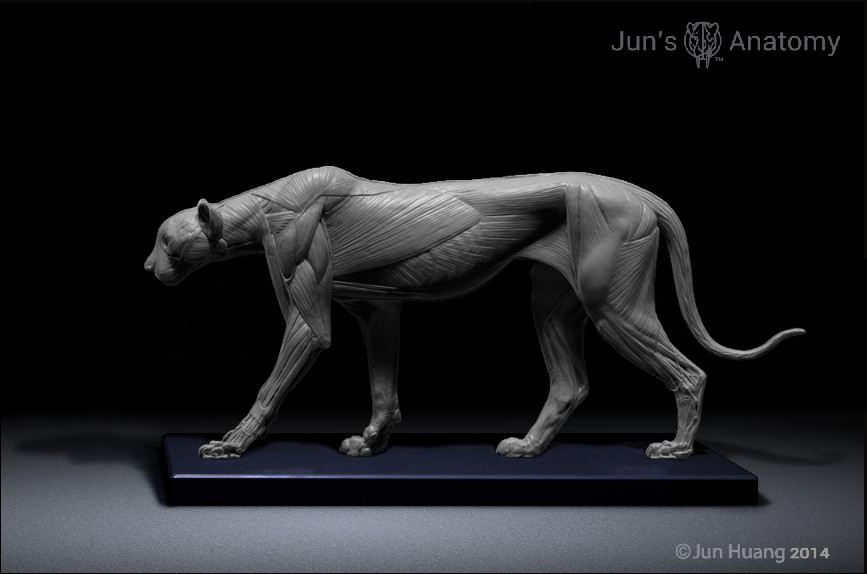 ArtStation - cheetah anatomy model, Jun Huang