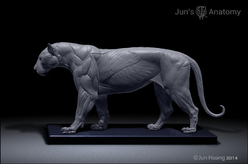 Artstation Tiger Anatomy Model Jun Huang