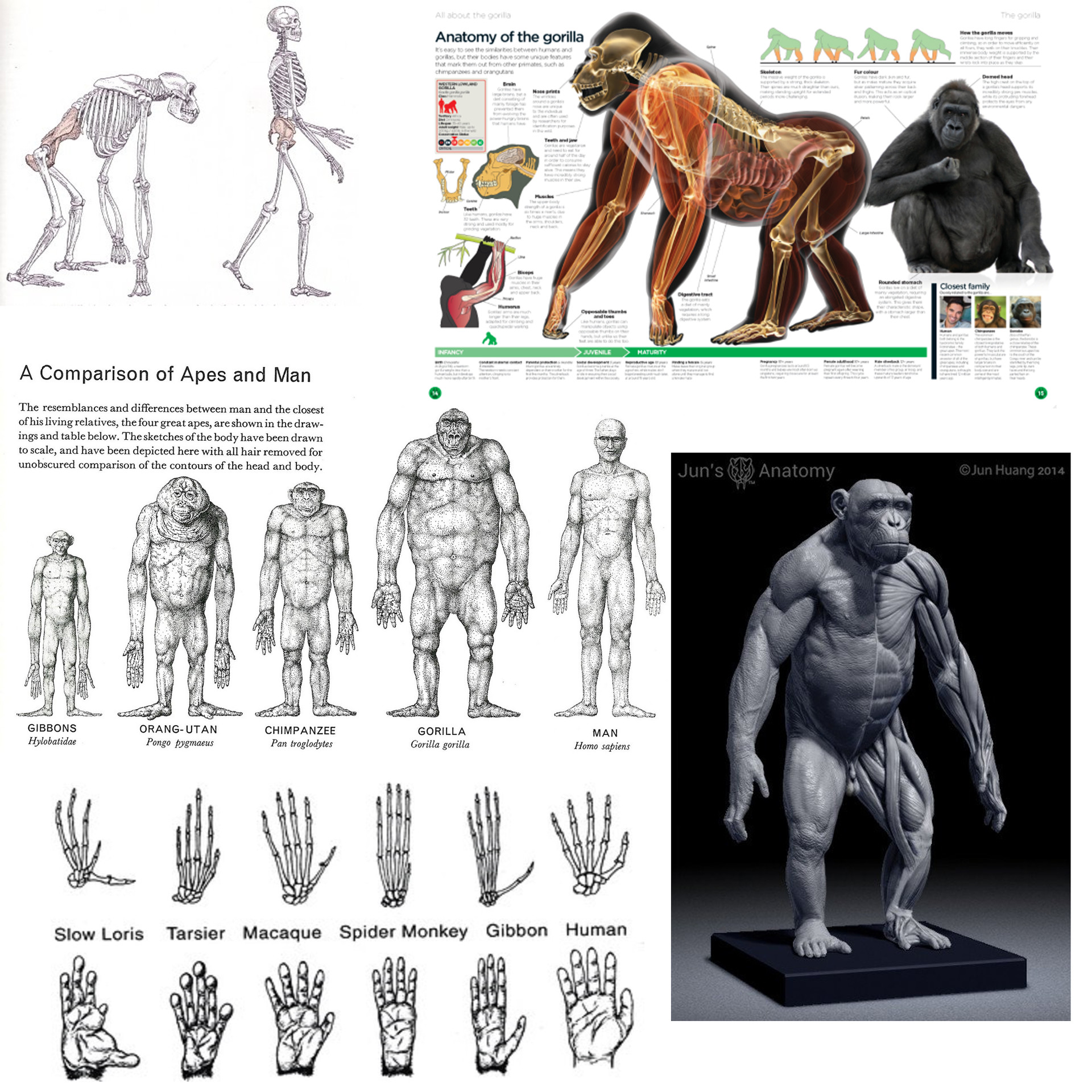 Old Fashioned Anatomy Of A Gorilla Image Collection - Physiology Of ...