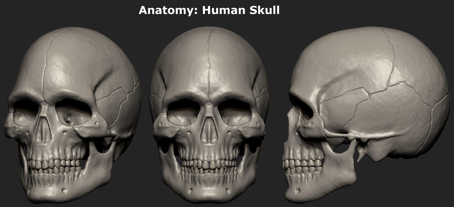 ArtStation - Anatomy: Human Skull, Shazad Ali
