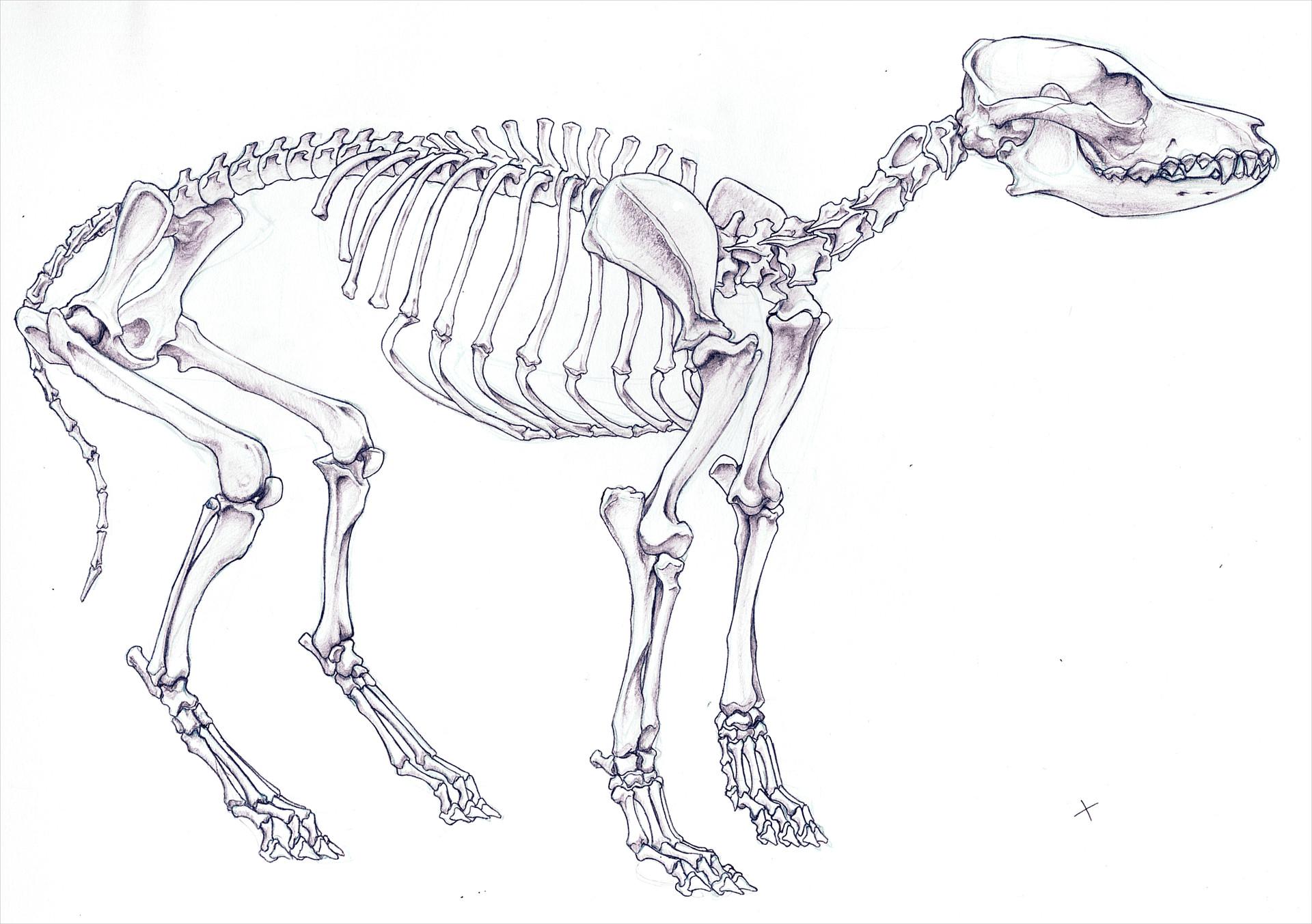 Chris Guo - Anatomy study - Dog