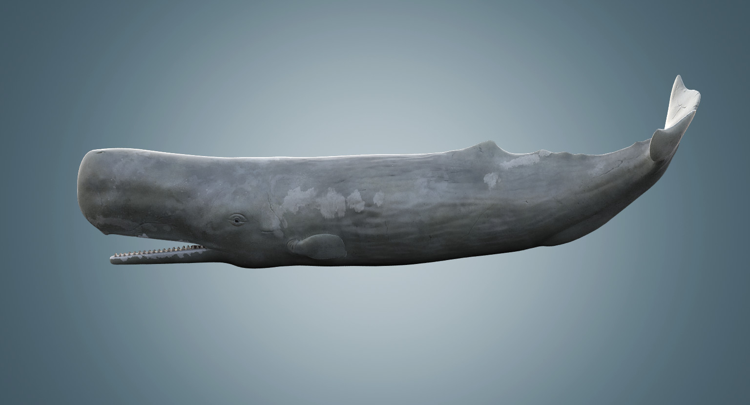 sperm-whale-order