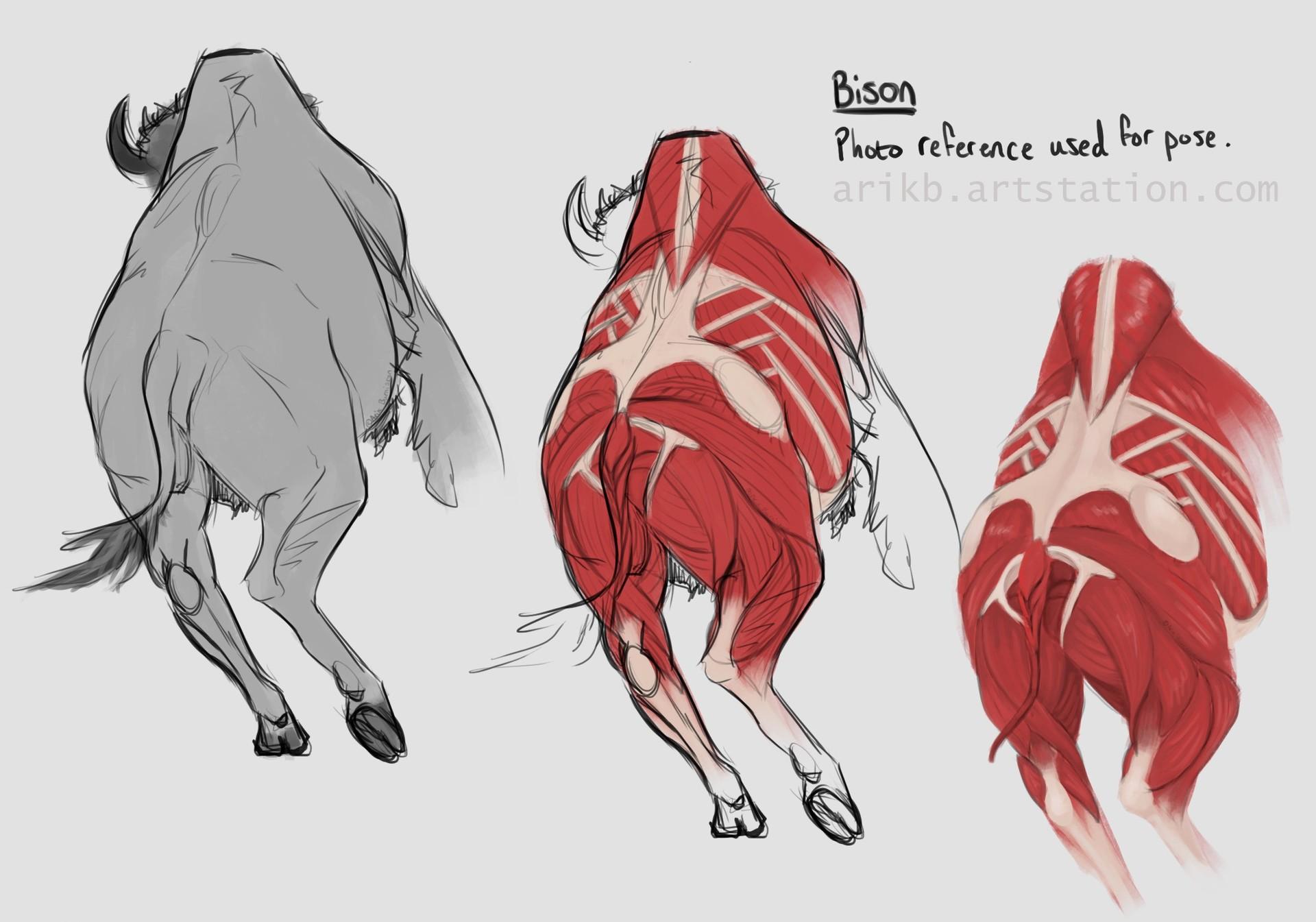 ArtStation - Animal Anatomy Studies, Arik Burniston