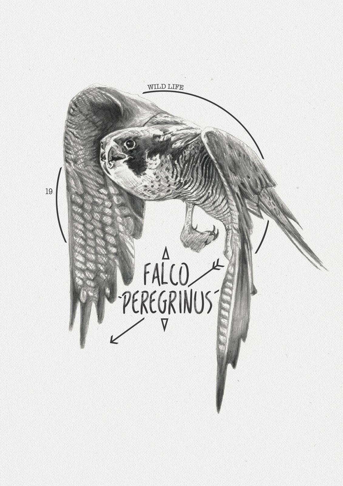 FALCO PEREGRUNUS