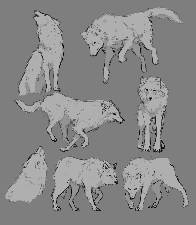 wolf studies!