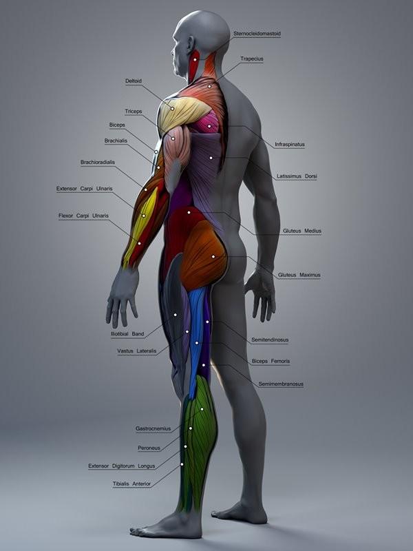 Atilla Ceylan Anatomy For 3d Artists