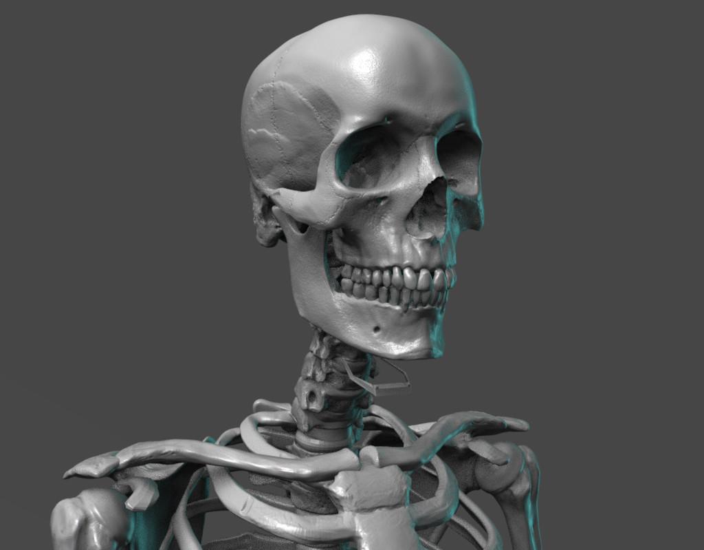 Human skeletal anatomy reference figure