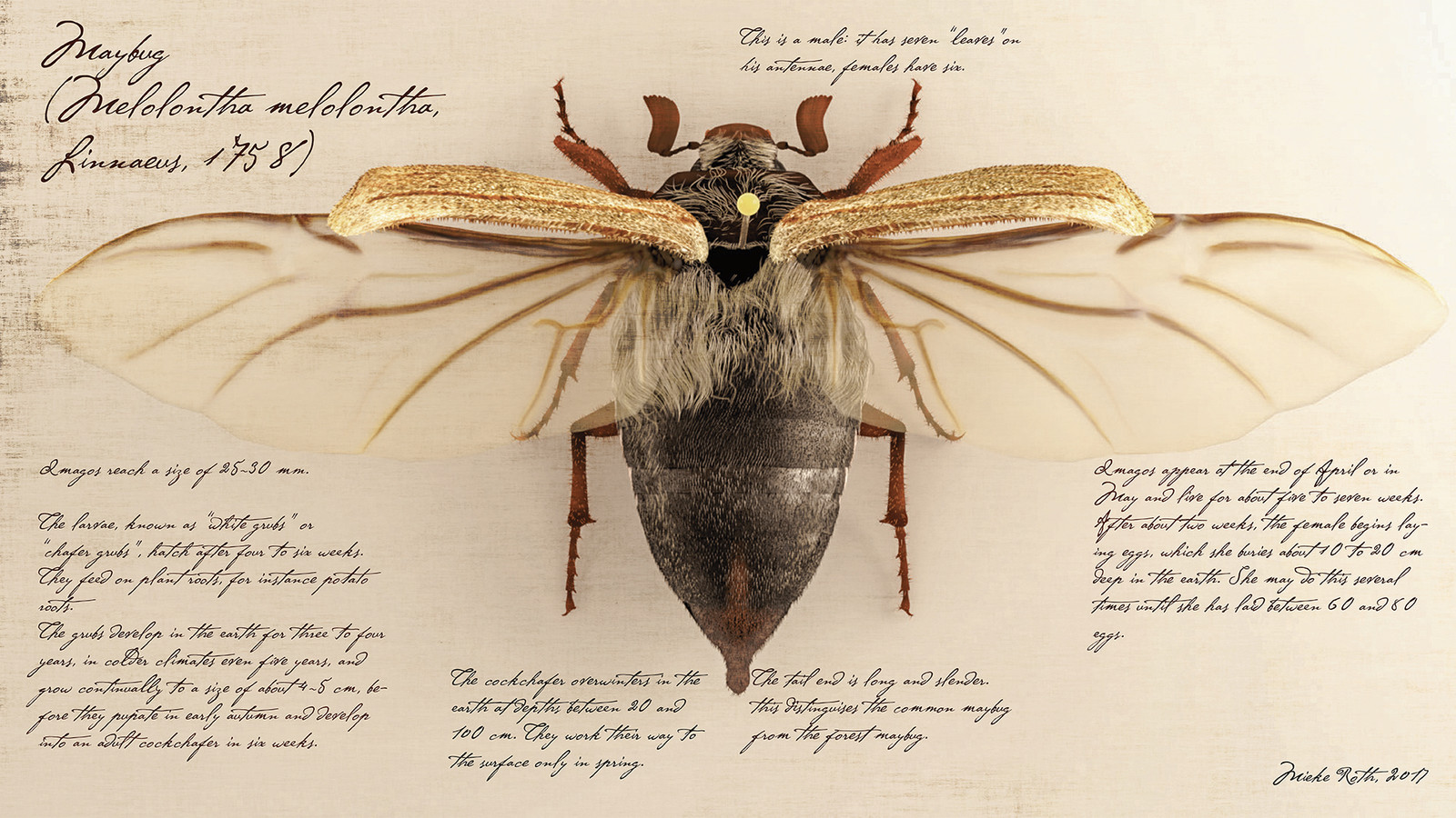 Maybug (Melolontha melolontha)