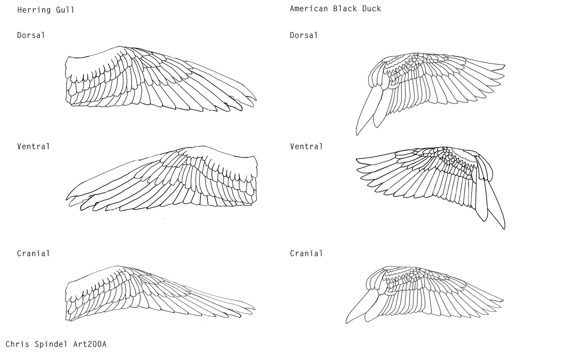 Bird wing anatomy feathers - crazywidow.info