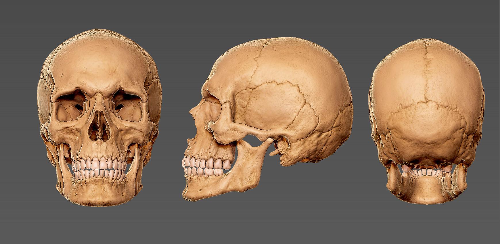 Andrey gritsuk skull 2