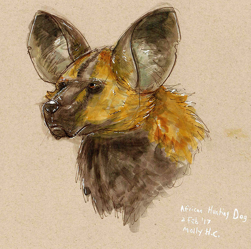 Life Drawing: African Hunting Dog