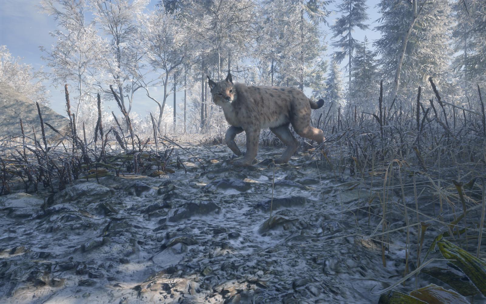 Eurasian Lynx 02