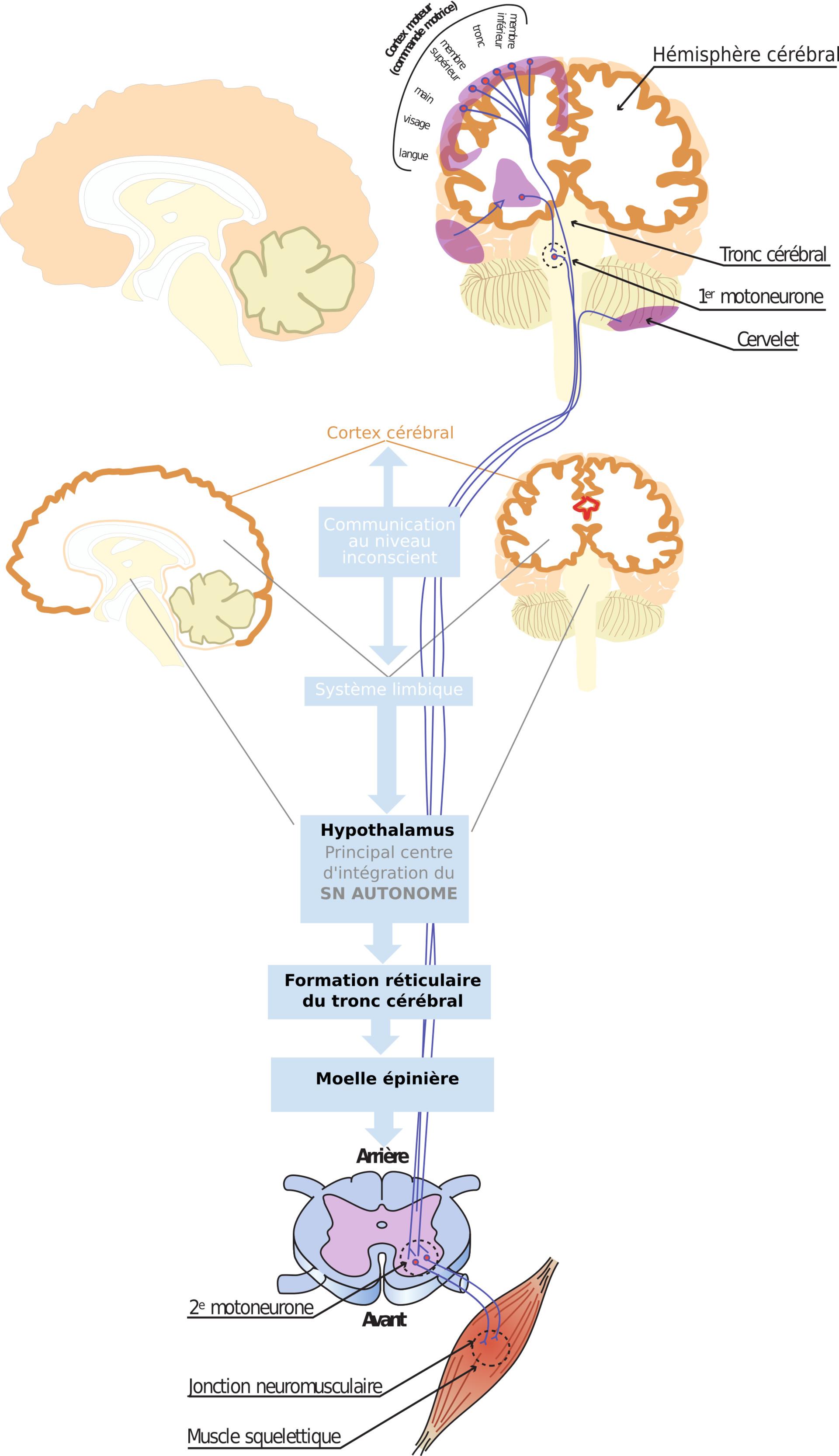 ArtStation - Anatomie du système nerveux, Grinny Manyform