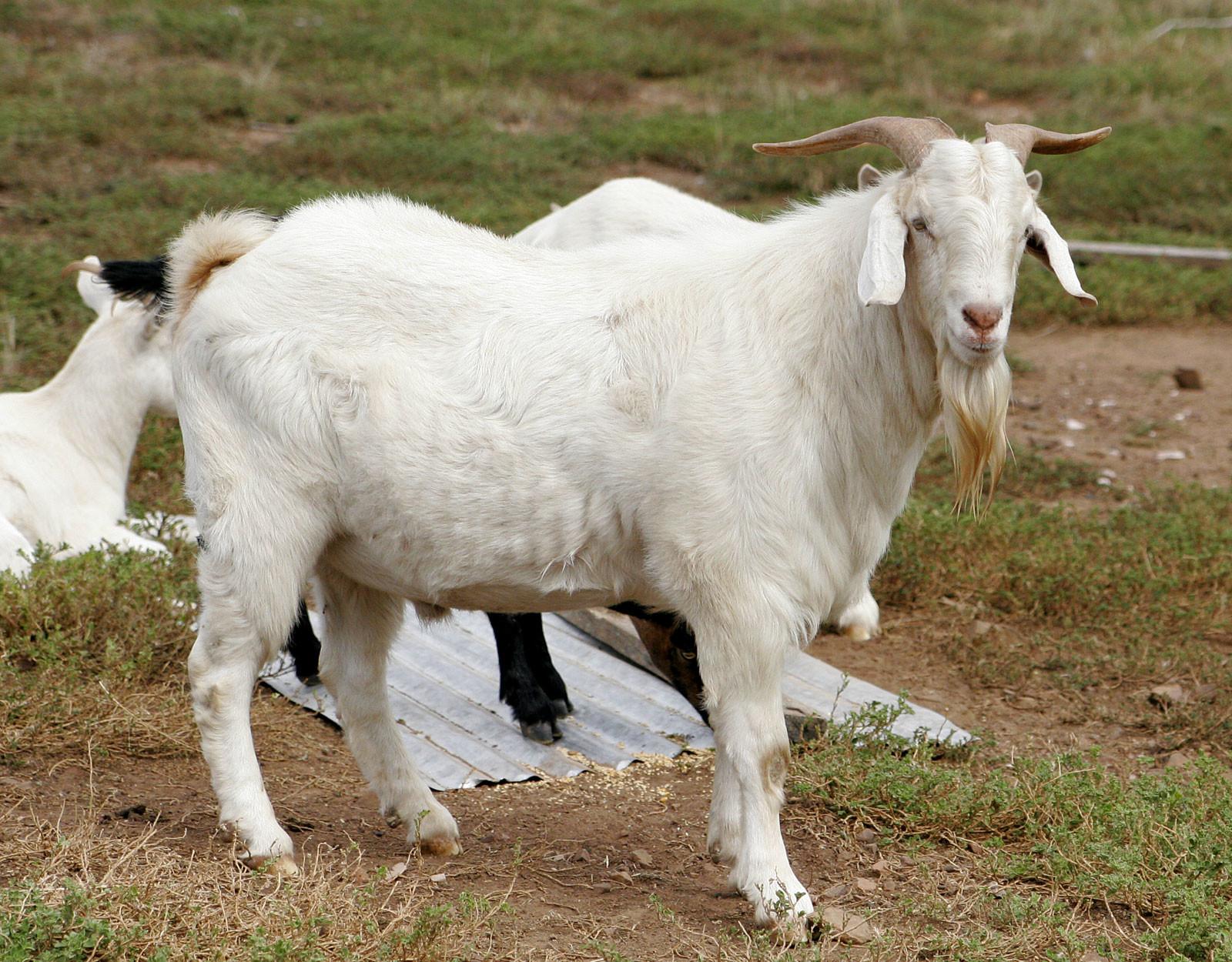 Y v billy goat