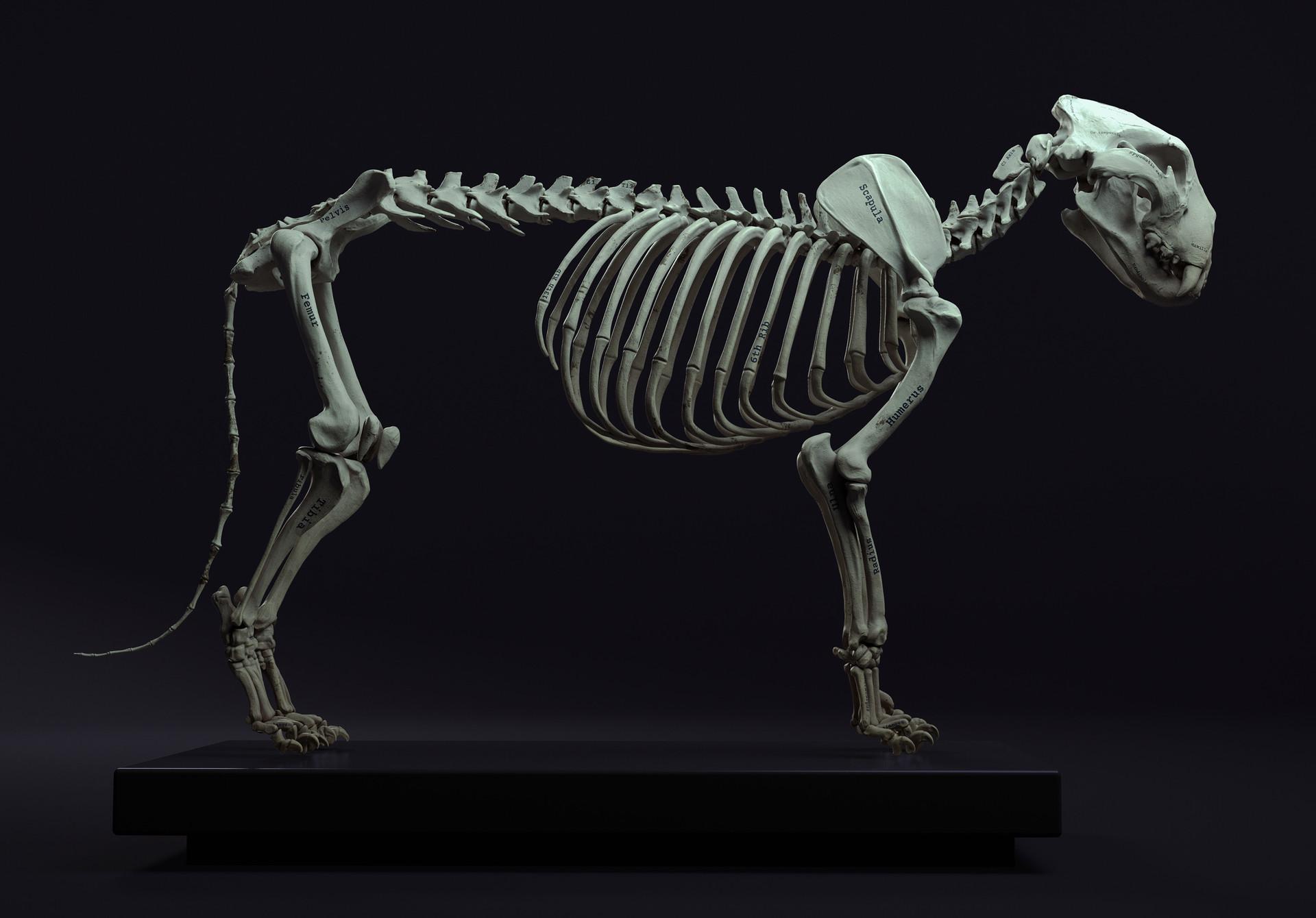 Lion Skeleton Anatomy - Best Image and Description About Lion