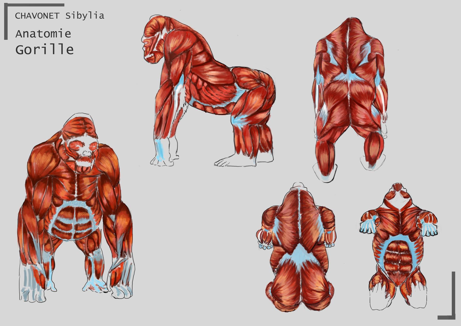 Sibylia Chavonet - Study Anatomy Gorilla
