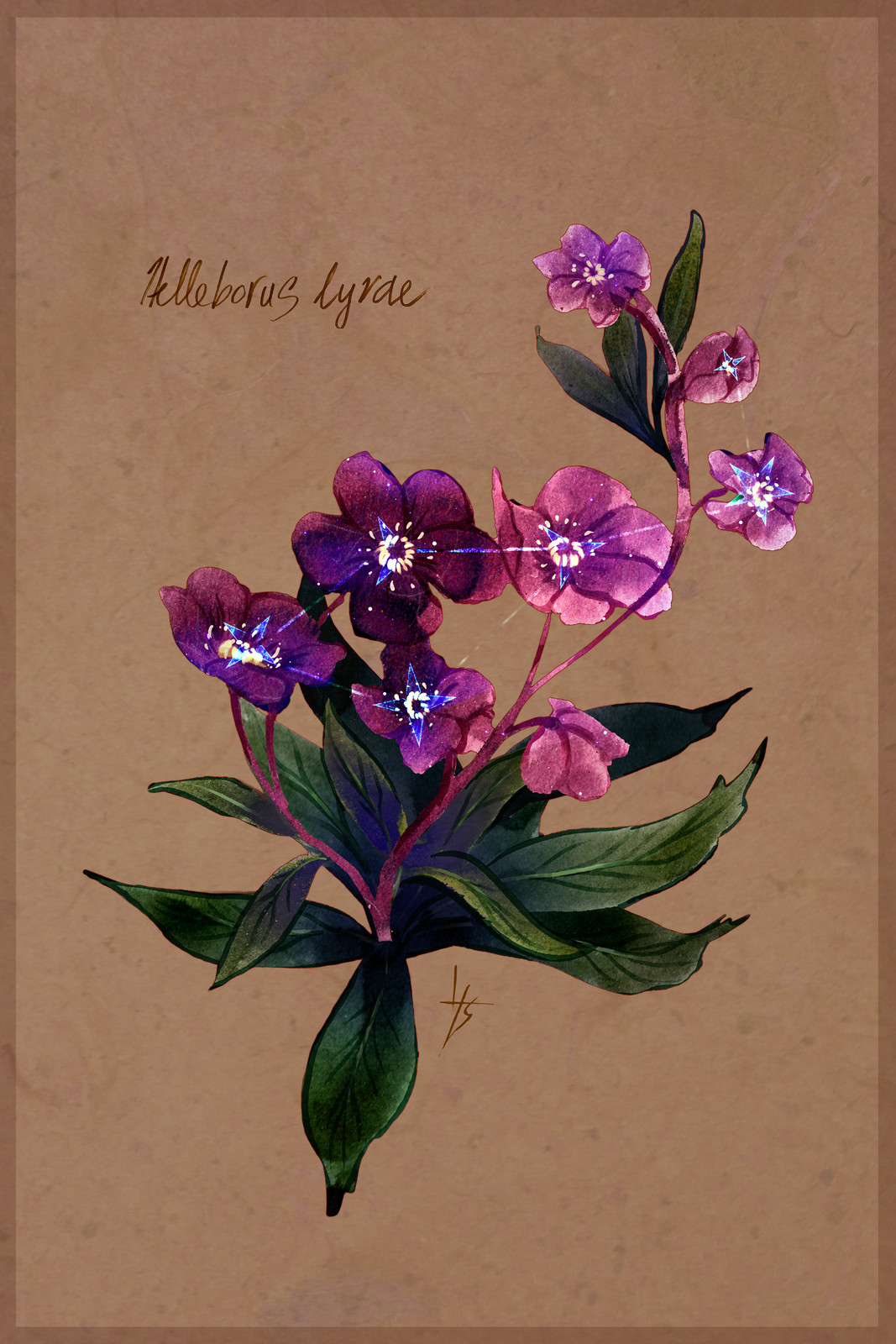 Helleborus lyrae