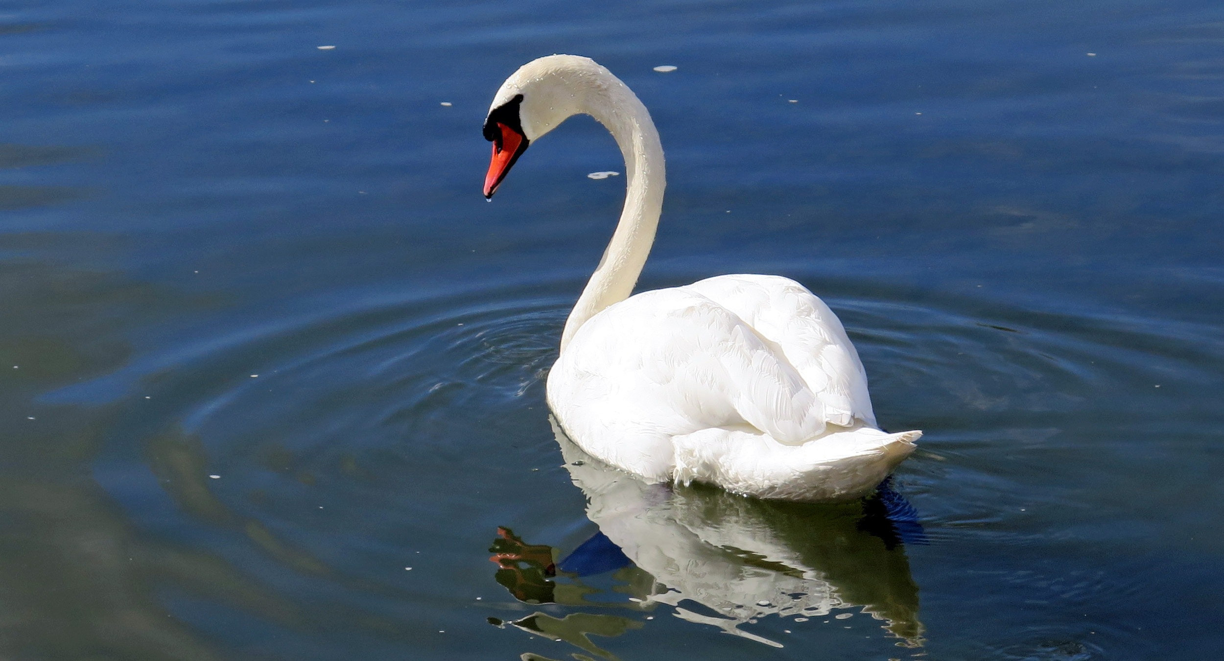 Ref image for the swan