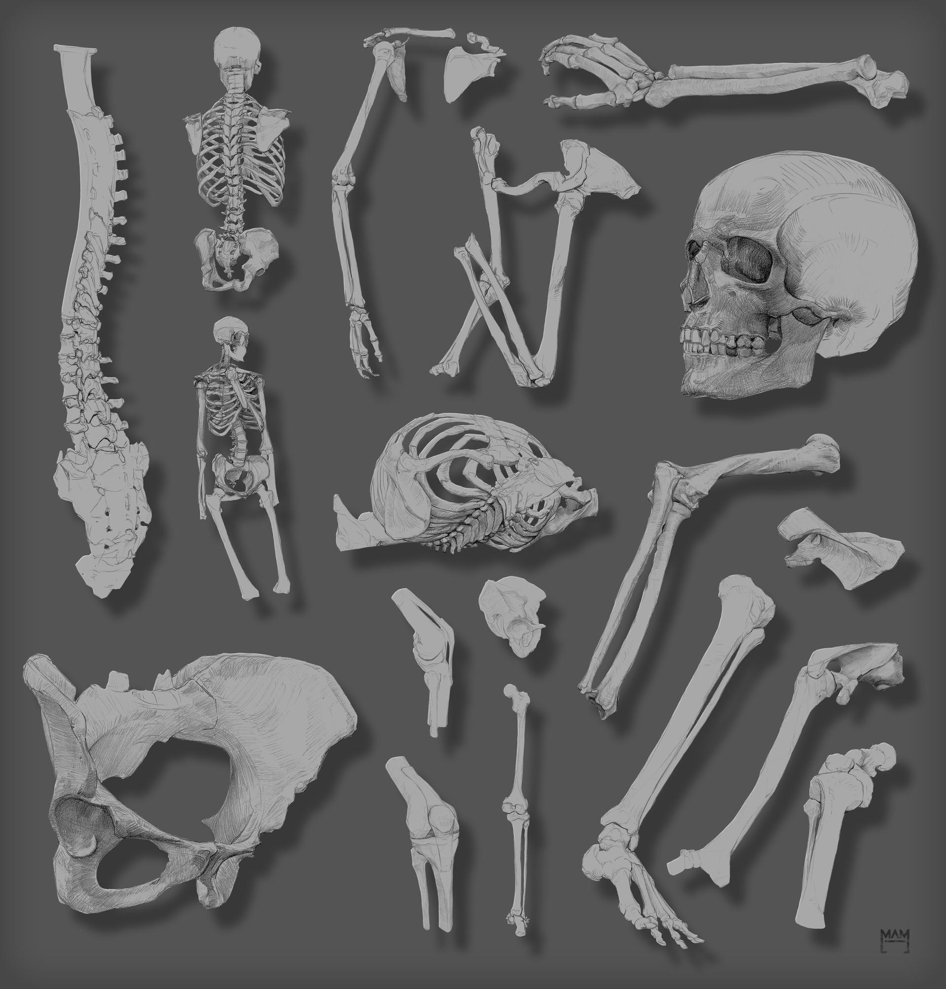 Artstation Anatomy Class Bones Marton Adam Marton